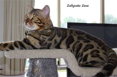 Zallycatz Zeus (Imp Canada)