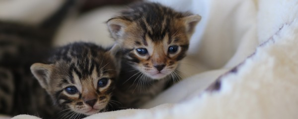 Six Little Bengals Arrive