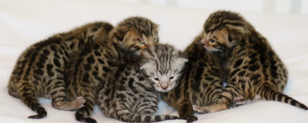 Five Bouncing Bengals Arrive December 2015