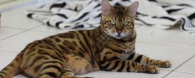 Awaiting Catwalk Zambezi's Beautiful Bengal Babies