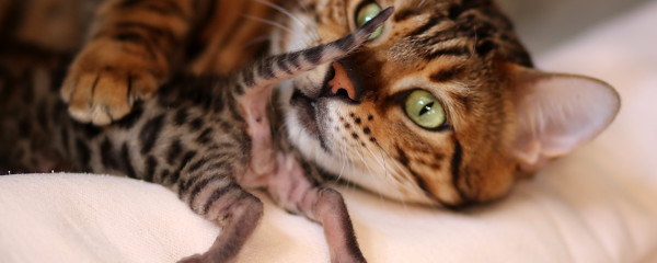 Catwalk Zambezi's Baby Bengals Arrive