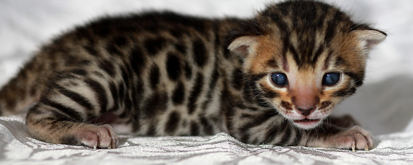 Gypsea delivers two little Bengal Treasures 6th March 2019